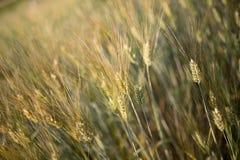 Giacimento di grano, Samerng Fotografia Stock Libera da Diritti