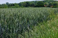 Giacimento di grano, Shotesham, Norfolk, Inghilterra a giugno fotografia stock libera da diritti