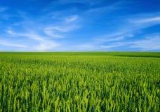 Giacimento di grano sopra cielo blu Immagini Stock Libere da Diritti