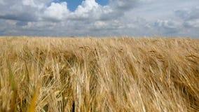 Giacimento di grano sotto cielo blu nel giorno di estate soleggiato Giacimento di grano dorato che soffia dal vento Paesaggio del stock footage