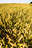 Giacimento di grano strutturato Immagine Stock Libera da Diritti
