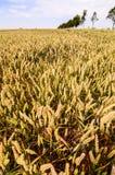 Giacimento di grano strutturato Fotografie Stock Libere da Diritti