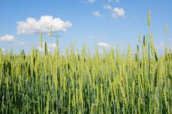 Giacimento di grano su un fondo di cielo blu con le nuvole ad estate da fotografia stock
