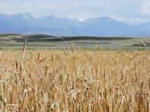 Giacimento di grano su un fondo delle montagne immagini stock