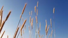 Giacimento di grano sul chiaro fondo del cielo blu Orecchie di grano dorato isolate al tramonto stock footage