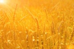 Giacimento di grano sul sole Fotografie Stock Libere da Diritti