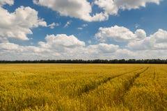Giacimento di grano ucraino su un fondo di cielo blu, raccolto del grano, Fotografia Stock Libera da Diritti