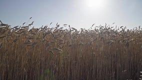 Giacimento di grano ventoso al tramonto