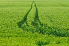 Giacimento di grano verde Fotografia Stock Libera da Diritti
