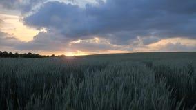 Giacimento di grano verde con un bello tramonto dorato che splende attraverso un cielo nuvoloso stock footage