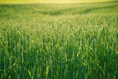 Giacimento di grano verde contro il sole Fine in su Scena rurale, harvestin Immagini Stock Libere da Diritti