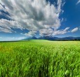 Giacimento di grano verde fresco sotto il cielo drammatico scenico Fotografia Stock