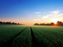 Giacimento di grano verde di mattina fotografia stock