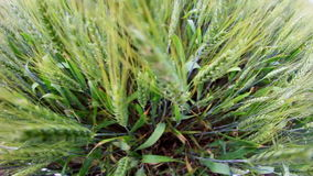 Giacimento di grano verde nel moto video d archivio