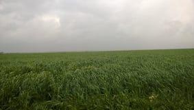 Giacimento di grano verde nell'inverno tardo immagini stock libere da diritti