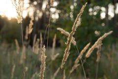 Giacimento di grano verde non maturo di verde del giacimento di grano - il giacimento di grano verde si è acceso da luce solare,  fotografia stock libera da diritti