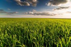 Giacimento di grano verde, paesaggio agricolo Immagine Stock Libera da Diritti