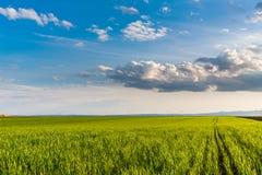 Giacimento di grano verde, paesaggio agricolo Fotografia Stock Libera da Diritti