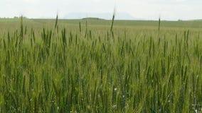 Giacimento di grano verde sotto Grey Sky stock footage