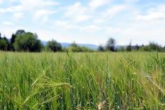 Giacimento di grano verde sotto i cieli blu Immagine Stock