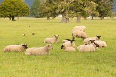 Giacimento di vetro verde con l'agricoltura delle pecore Immagini Stock