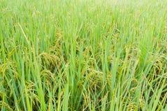 Giacimento dopo la pioggia, Tailandia del riso di verde giallo Immagini Stock Libere da Diritti
