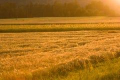 Giacimento dorato del cereale fotografie stock