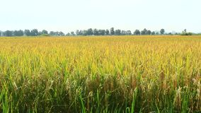 Giacimento dorato del riso stock footage