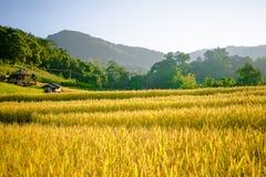 Giacimento dorato del riso con la montagna piacevole Fotografia Stock Libera da Diritti