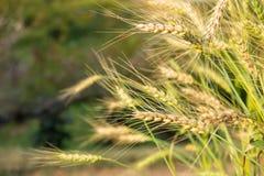 Giacimento dorato del riso del grano Immagini Stock