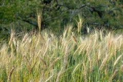 Giacimento dorato del riso del grano Fotografia Stock Libera da Diritti