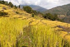 Giacimento dorato del riso nel Nepal Fotografie Stock
