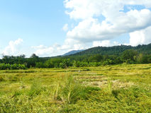 giacimento dorato del riso nella stagione del raccolto Fotografia Stock