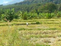 giacimento dorato del riso nella stagione del raccolto Immagini Stock Libere da Diritti