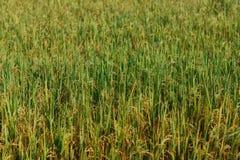 Giacimento dorato del riso nello Sri Lanka Carta da parati verde fotografia stock