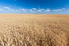 Giacimento dorato del riso pronto per il raccolto con cielo blu Immagini Stock