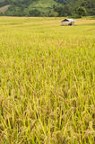 Giacimento dorato del riso in Tailandia. Fotografia Stock