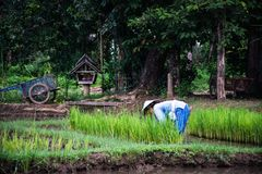 Giacimento e agricoltore del riso Fotografia Stock