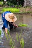 Giacimento e agricoltore del riso Fotografia Stock Libera da Diritti