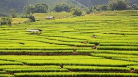 Giacimento e capanna maturi a terrazze del riso Immagini Stock
