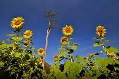 Giacimento e cielo blu del girasole Fotografia Stock Libera da Diritti
