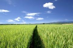 Giacimento e cielo blu del riso Fotografie Stock