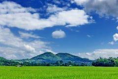 Giacimento e cielo blu del risone Fotografie Stock Libere da Diritti