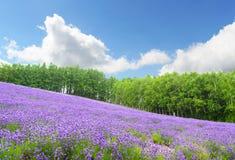 Giacimento e cielo blu della lavanda di estate al furano Hokkaido Giappone Fotografia Stock