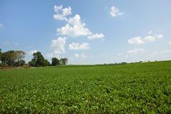 Giacimento e cielo blu della soia Immagini Stock Libere da Diritti