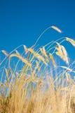 Giacimento e cielo blu di grano Immagini Stock