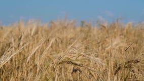 Giacimento e cielo blu di grano gialli stock footage