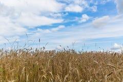 Giacimento e cielo blu di grano nel sommer Immagini Stock