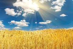 Giacimento e cielo blu di grano su un fondo di pomeriggio di estate fotografia stock libera da diritti