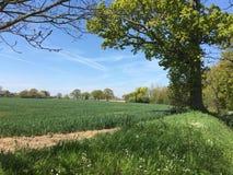 Giacimento e cielo blu di grano verdi con gli alberi immagini stock libere da diritti